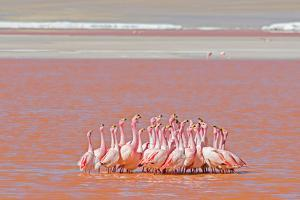 Ritual Dance of Flamingo, Wildlife, Laguna Colorada (Red Lagoon), Altiplano, Bolivia by Helen Filatova