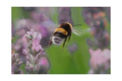 Bee in Lavender, 2018