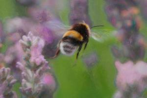 Bee in Lavender, 2018, by Helen White