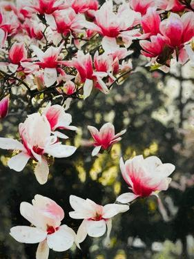 Blooming Magnolia, 2018, by Helen White