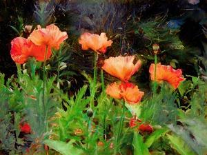 Peachy Poppies painting by Helen White