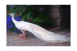 White Peacock by Helen White