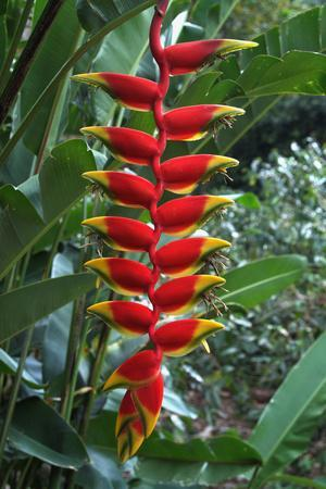 https://imgc.allpostersimages.com/img/posters/heliconia-flowering-plant-jamaica-west-indies-caribbean-central-america_u-L-PWFDP60.jpg?p=0