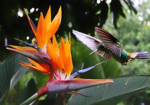 Flying Hummingbird At A Strelitzia Flower by henner