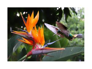 Flying Hummingbird At A Strelitzia Flower by henner