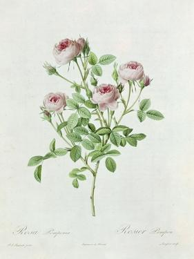 Rosa Pomponia, from Les Roses by Claude Antoine Thory by Henri Joseph Redouté