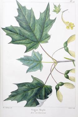 Sugar Maple by Henri Joseph Redouté