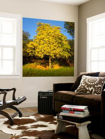 Acacia Tree in Bloom, Oakland, CA (Yellow Flowering Tree)