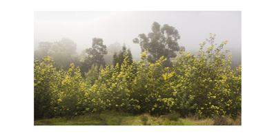 Acacia Trees in Bloom, Oakland, CA (Fog)