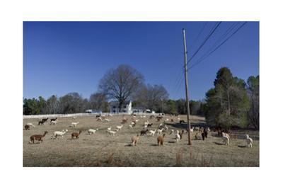 Alpaca Farm, Chapel Hill, NC (Southern Farm Animals)