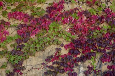 Boston Ivy in Fall by Henri Silberman