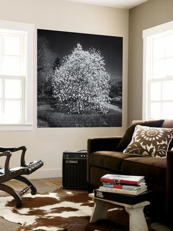 Botanic Gardens Star Magnolia Tree
