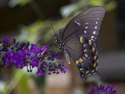 Butterfly on Butterfly Bush (Purple Flower with Insect) by Henri Silberman