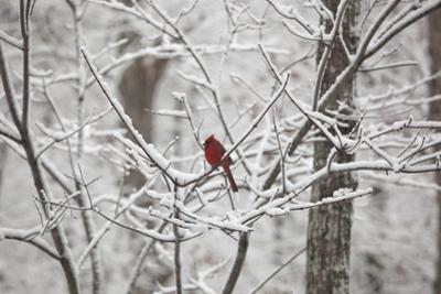 Cardinal on Snow Covered Trees by Henri Silberman