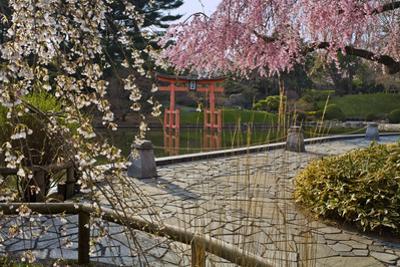Cherry Blossoms in Japanese Garden by Henri Silberman