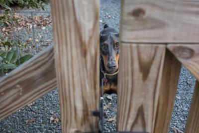 Doberman Pinscher Behind Fence (Dog, Close-Up) by Henri Silberman