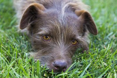 Dog in Grass, Close-Up (Cute Mix-Breed) by Henri Silberman