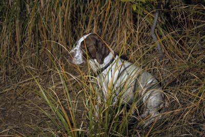 Dog in Grasses (German Shorthaired Pointer, Oakland, CA) by Henri Silberman