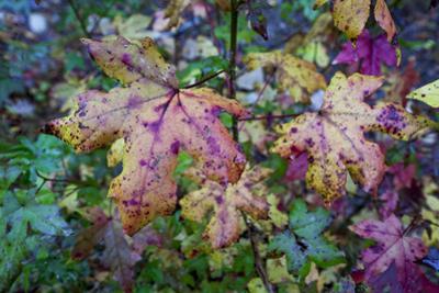 Fall Leaves, Close-Up (North Carolina Woods) by Henri Silberman