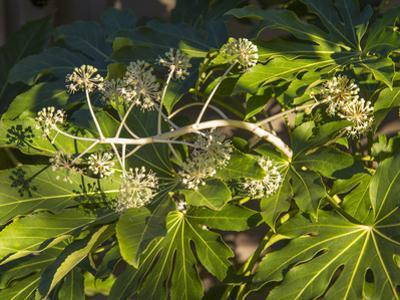 Fatsia Japonica in Flower (Botanical) by Henri Silberman