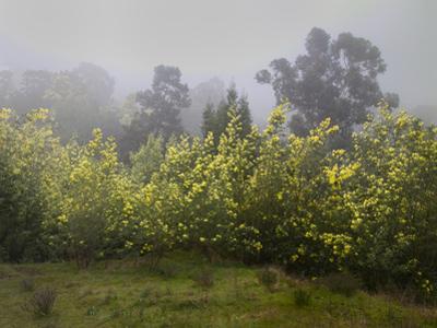 Flowering Acacia Trees in Fog