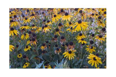 Garden Botanical BlackEyed Susan Flowers by Henri Silberman