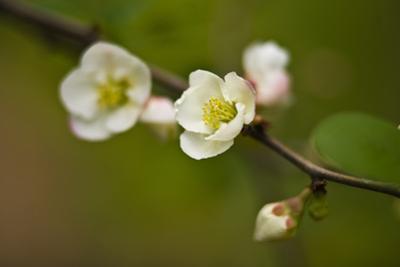 Japanese Flowering Quince by Henri Silberman