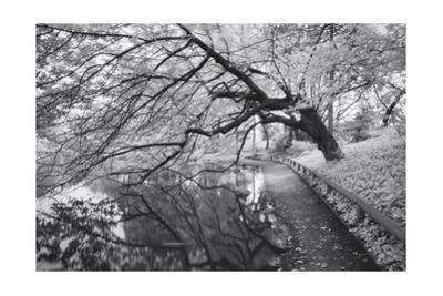 Japanese Garden, Infrared - Brooklyn Botanic Gardens, Tree