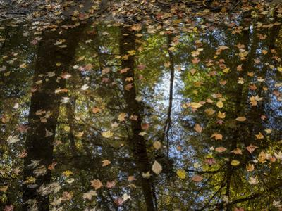 Leaves and Tree Reflections in a Pond by Henri Silberman
