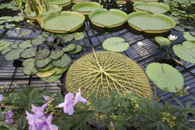 Lily Pads, Kew Gardens (Green House Lily Pond, England) by Henri Silberman