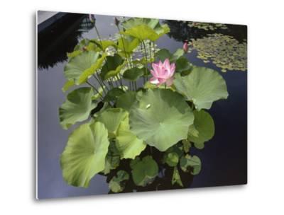 Lotus Blossom Brooklyn Botanic Gardens - Lily Pond Lotus Plant