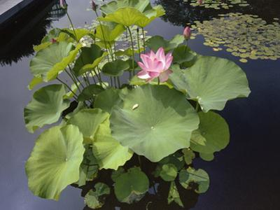 Lotus Blossom Brooklyn Botanic Gardens - Lily Pond Lotus Plant by Henri Silberman