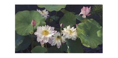 Lotus Flower and Leaves, Brooklyn Botanic Gardens by Henri Silberman