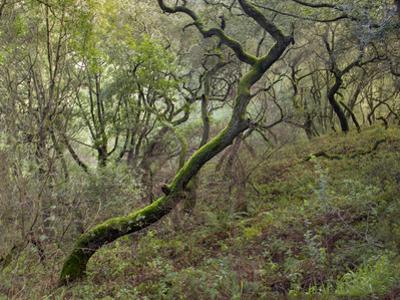 Moss on Tree, Northern California Woods (Native Woodland) by Henri Silberman
