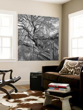 Oak Tree and Fence 2 (Native Woodland, Oakland, CA, Black and White)