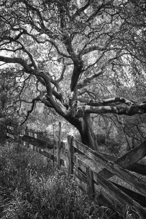 Oak Tree and Fence (Native Woodland, Oakland, CA, Black and White) by Henri Silberman