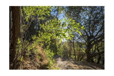 Oakland Hills Bay Tree Leaves by Henri Silberman