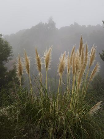 Pampas Grass in Fog by Henri Silberman