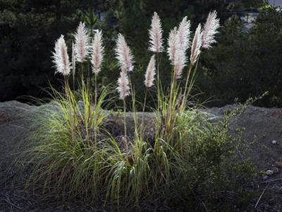 Pampas Grass (Native Grass, Oakland, CA)