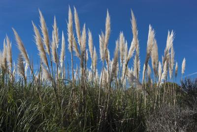 Pampas Grass by Henri Silberman