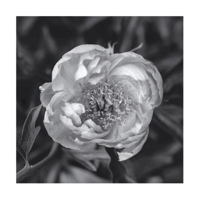 Peony Flower, Close-Up 2 by Henri Silberman