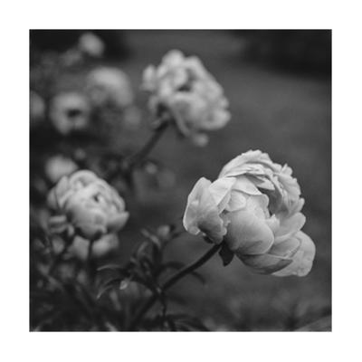 Peony Flowers in Garden by Henri Silberman