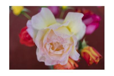 Pink And Yellow Rose Close-Up by Henri Silberman