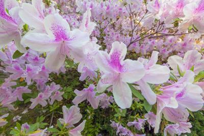 Pink Azalea, Close-Up 3 (Spring Botanical) by Henri Silberman