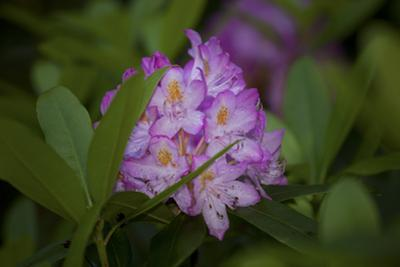 Pink Rhododendron by Henri Silberman