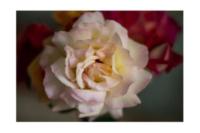 Pink Rose Close-Up by Henri Silberman