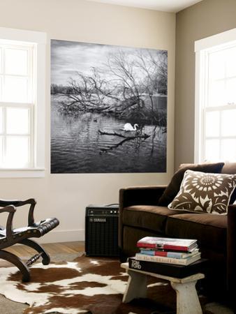 Prospect Park Swan, Brooklyn Ny by Henri Silberman