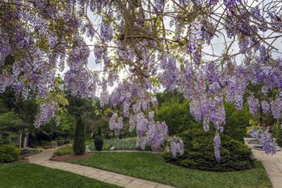 Purple Wisteria, Duke Gardens by Henri Silberman
