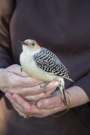 Red-Bellied Woodecker in Hands 2 (North Carolina Native Bird) by Henri Silberman
