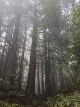 Redwood Trees in Fog (Northern California Landscape) by Henri Silberman